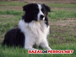 Border Collie parado