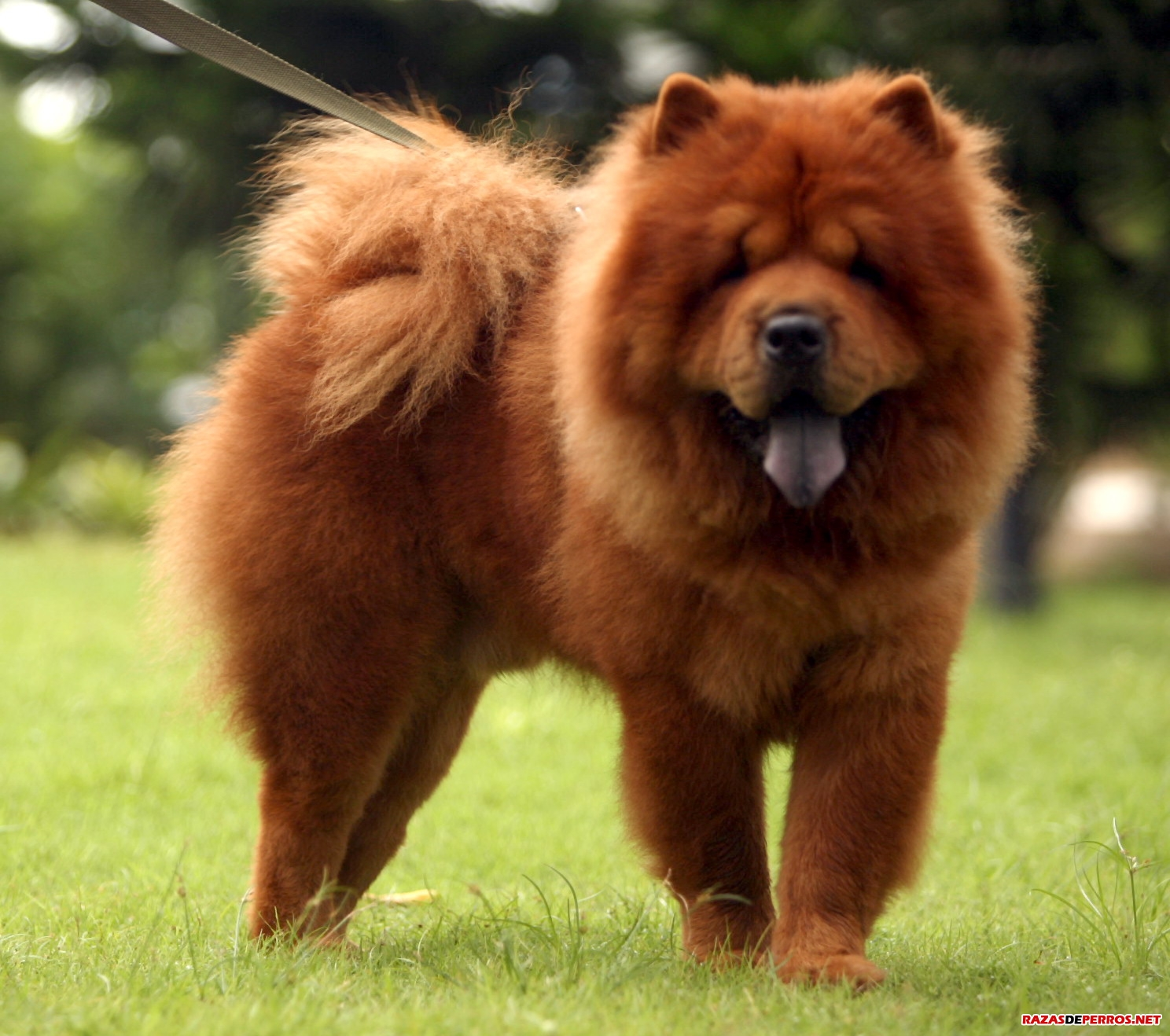 Chow Chow perro