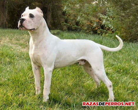 Dogo Argentino2