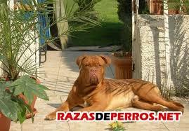 Dogo Burdeos 2