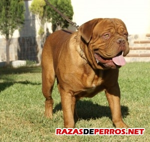 Dogo Burdeos