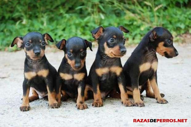 Pinscher Miniatura Cachorros