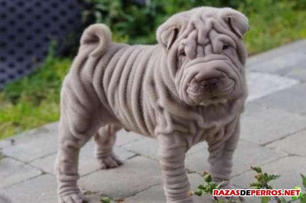 Shar Pei Gris cachorro