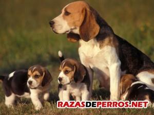 beagle-familia