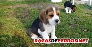 cachorro-beagle