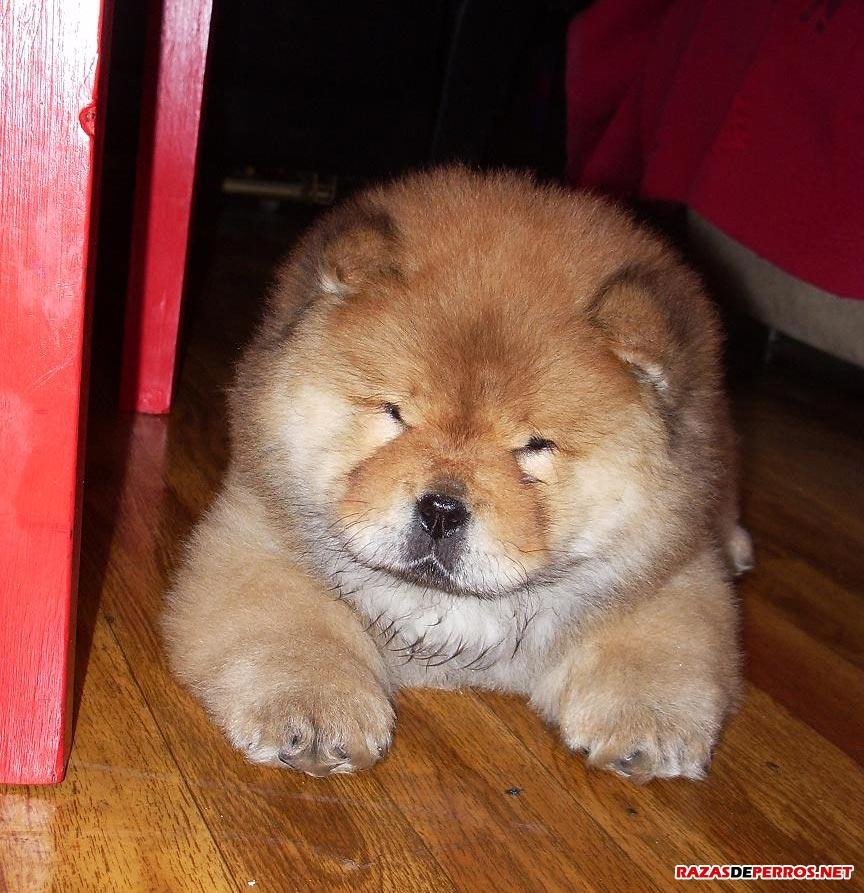 cachorro-chow-chow