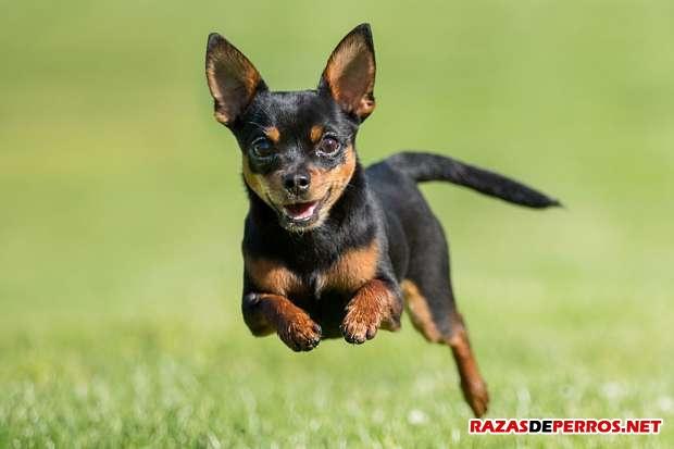 chihuahua corriendo