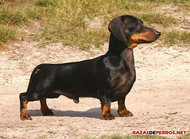 dachshund cuerpo