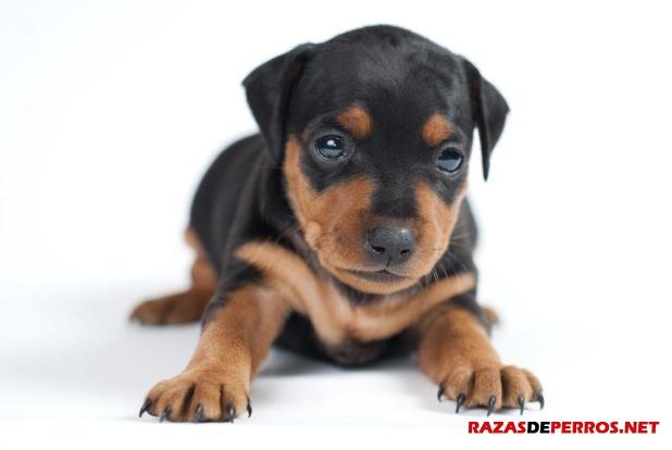 doberman cachorro