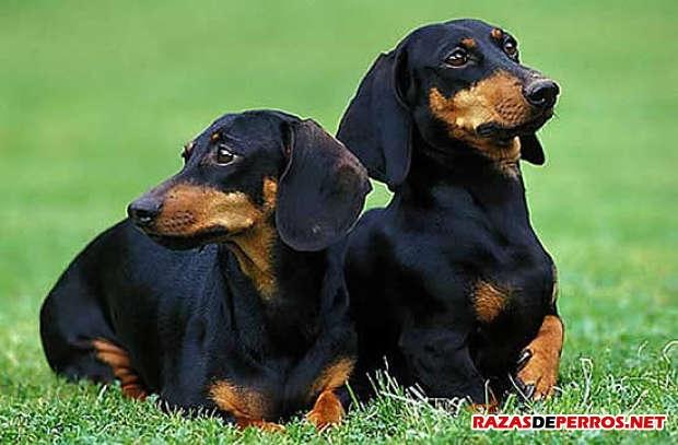 dos dachshund