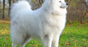 perro-samoyedo