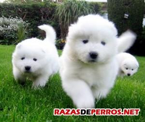 perros-cachorros-samoyedo