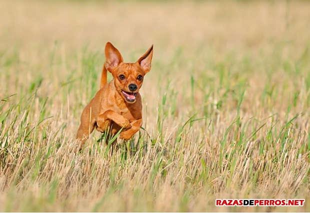 pinscher miniatura corriendo