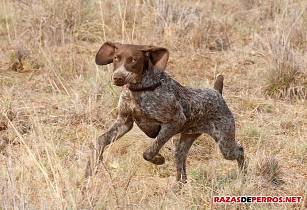 pointer corriendo