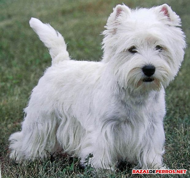 west highland white terrier cuerpo