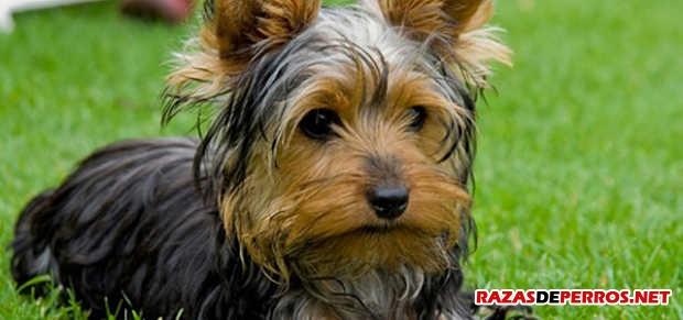 yorkshire terrier acostado
