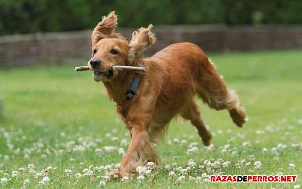 Cocker Spaniel corriendo