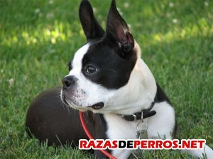 boston terrier acostado
